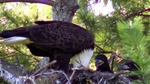 45X Zoom JVC Everio GZ-EX210 1080p Bald Eagle Nesting Feeding Young Eaglets !