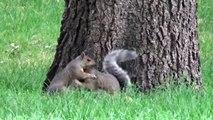 2 Squirrels Playing (Fighting) Loring Park Minneapolis