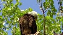 Beautiful Eaglet ! Bald Eagle Nesting & Young !