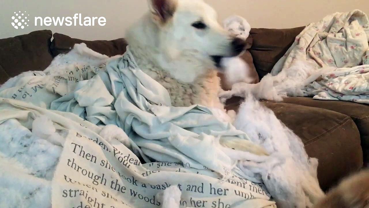 Wolf hybrid dog 'destroys' owner's bed sheets