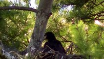 STUNNING VIDEO Bald Eagle Nesting Feeding Baby Eaglets !