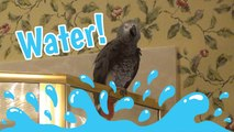 Einstein Parrot does a spot on imitation of water