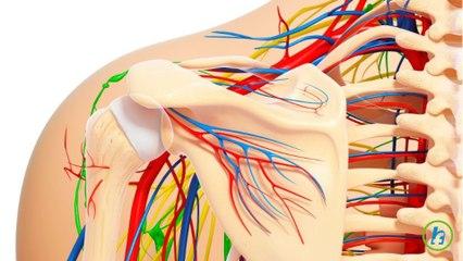 Anatomia umarului
