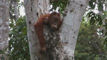 El aceite de palma, una amenaza para la vida silvestre del Sudeste Asiático