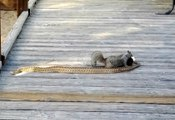 Squirrel & snake fight
