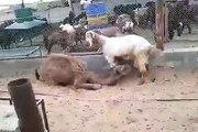 سبحان الله العظيم لطفا شير الفديو وليكن تعليقنا ذكر الله-A Camal Taking Milk with A Goat