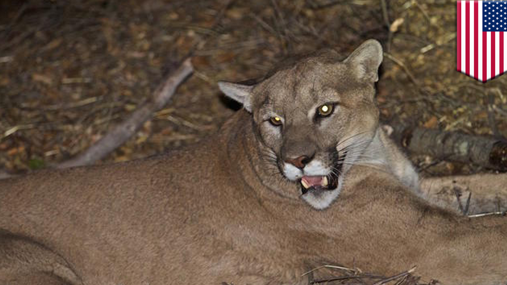 Rancher gets permit to shoot mountain lion that killed 12 farm animals for fun