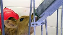 Cow Videos for Children, More Cows for Kids