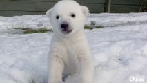Toronto Zoo Polar Bear Cub Introduced to Snow for the First Time