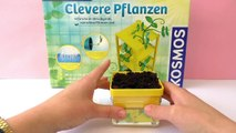 PEAS GERMINATE and form roots | Update Clever Plants Kosmos Experiment Kit