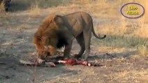 15 Lion vs Hyena A Terrible Fight-Lion , Hyena ,JaguarAttack    Hyena vs Lion Who Wins (HD)