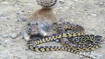 Animal Real Fight - Squirrel vs Snake