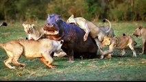Buffalo Kills Lion - Hyena vs Lion - Hippo vs Lion - Elephant vs Lion - Crocodile vs Buffalo