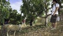 Ecophyto : l'exemple du lycée agricole de la Réunion