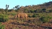 Lo más increíble ataques de animales salvajes #1 - León ataque del Rinoceronte - Animal World
