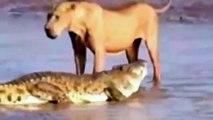 Lion vs Tiger,Crocodile,Buffalo Fight To Death, animal fighting   Animal Docs