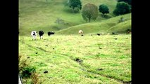 Videos Cow for children - Cows for Kids Mooo! - Livestock