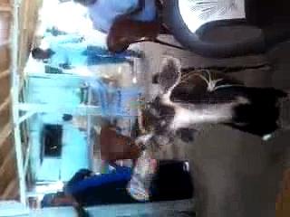 Goat drinking Coke