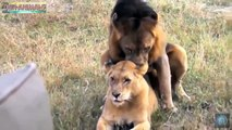 Predadores Selvagens Acasalando - leão, tigre, Jaguar & preta Jaguar, Leopardo!