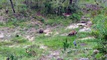 wild dogs hyenas attack - cães selvagens hienas ataque