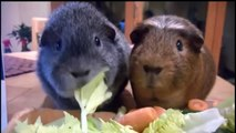 Guinea Pigs - Animals for Kids - Cute Pets