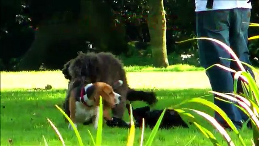 Dog Mating FAIL - GAY DOGS - सेक्स जानवरों - الحيوانات الجنس