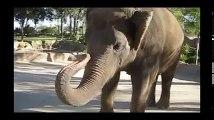 افيال ترقص على الموسيقى لن تندم على المشاهدة   حيوانات ترقص على الموسيقى   Elephants Dance 2016