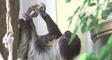Autriche: un bébé paresseux est né au zoo de Vienne