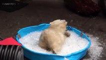 Funny POLAR BEARS ★ Funny & CUTE Polar Bears [Funny Pets]