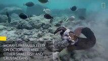 Une murène se bat contre une pieuvre puis attaque un plongeur