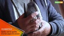 L'Avenir - Erik Limbourg : les qualités d'un bon pigeon de concours