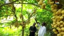 অবাক কান্ড দেখুন ব্যতিক্রমী লটকন ফল চাষ করে ভূমিহীন কৃষক আজ কোটিপতি