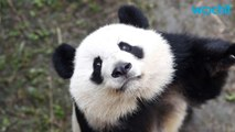 Giant Panda Removed from 'Endangered Species' List