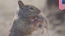 Tupai vs Tikus, Tupai memakan tikus untuk makan siang - Tomonews