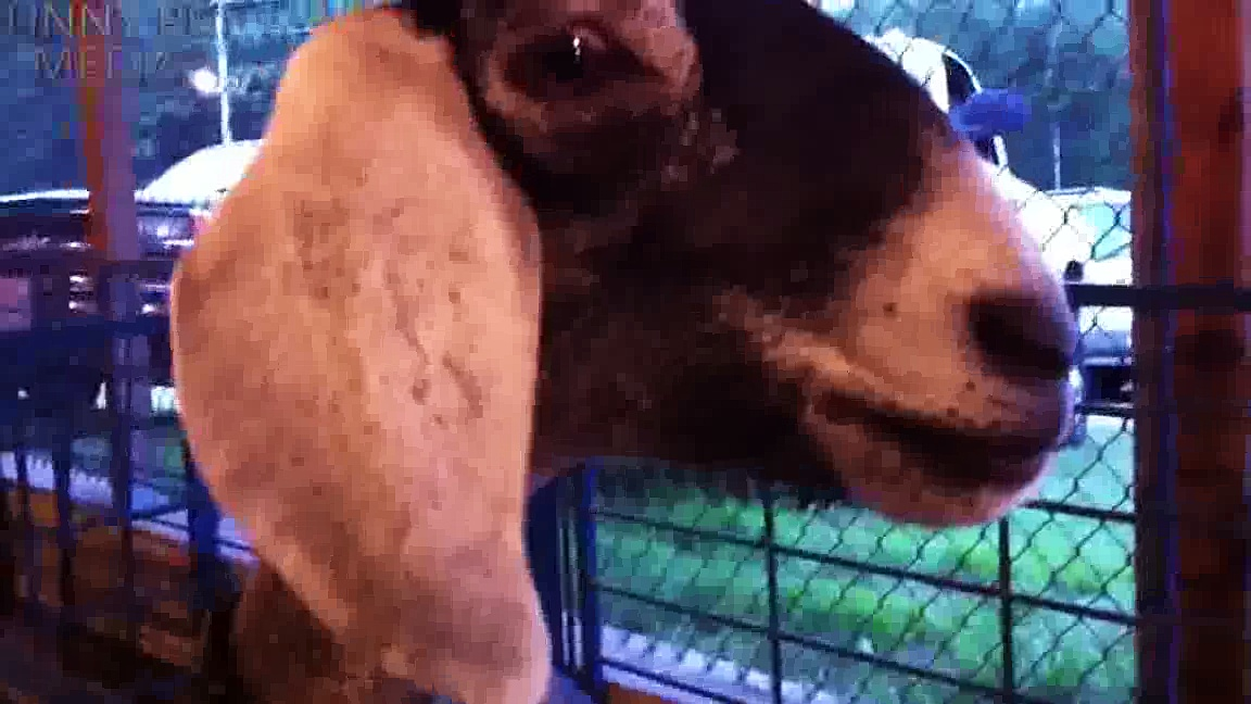 Funny Goats (NEW)