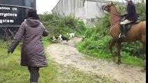 Durante una battuta di CACCIA, i cani circondano una VOLPE...ma all'improvviso ECCO cosa succede!