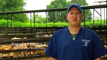 How to Breed Sheep - Lambs - Reproduction - English Subtitle -TvAgro por Juan Gonzalo Angel