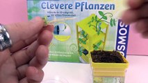 PEAS GROW LEAVES - Clever Plants Kosmos Experiment Kit Update 2