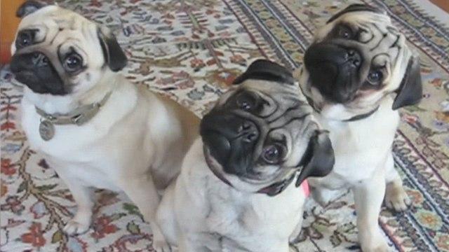 Funniest Cute Pet Home Videos of 2017 Weekly Compilation   Funny Pet Videos   Funniest Cat, Dog & Pets Home Videos Week