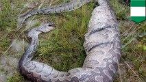 Ular Phyton mati terjepit karena perut besar setelah makan anjing - Tomonews