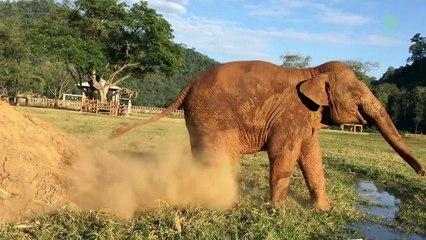 Un éléphant lâche un pet sur son congénère pour se venger