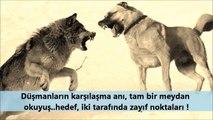 KANGAL ve KURT   kangal kurt saldırısı nasıl olur   kangal kurt dövüşü olsa kim yener