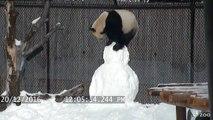 Un panda joue avec un bonhomme de neige, adorable