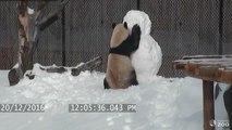 Un panda s'amuse avec un bonhomme de neige