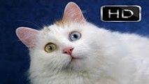 Komik Kediler ►► En Sevimli ve Tatlı Kediler [[[Sizin Favoriniz Hangisi]]]