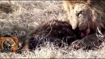 Komodo Dragon VS Buffalo - Vidéo dailymotion