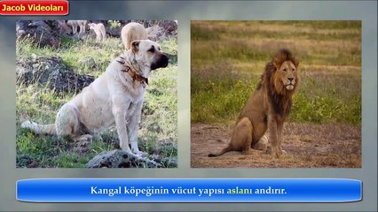 KANGAL mı PİTBULL mu 2 [[ Cevabı Siz Verin !!! ]]►► Strongest powerfull dogs, güçlü köpekler