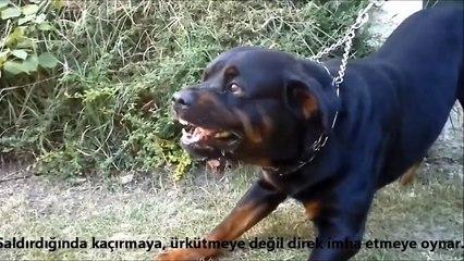 Rottweiler mı Doberman Pinscher mi ►► güçlü köpekler, strongest   powerfull dogs