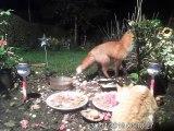 Un renard et un chat partagent un repas en paix !