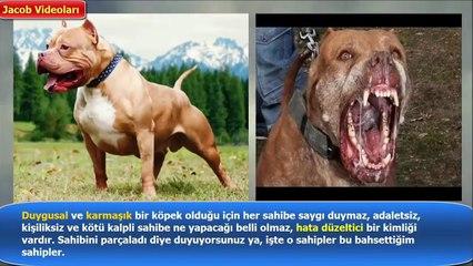 PİTBULL vs WİLD WOLF About Facts !!! ►► Pitbull mu Vahşi Kurt mu Hangisi Daha Güçlü güçlü köpekler